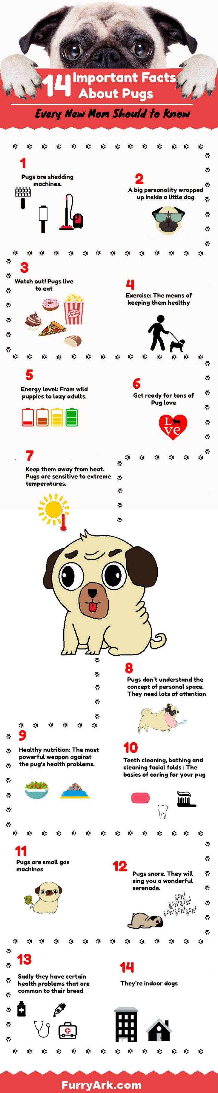 14 Important Facts About Pugs Every New Mom Should To Know Pug