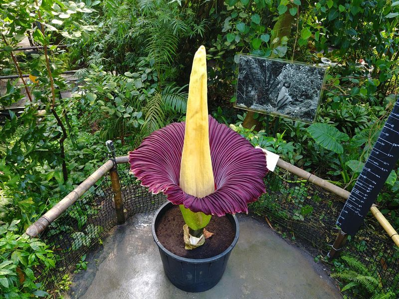 Mysteryplants Corpse Flower Corpse Flower Is The Largest And Smelliest Flower In The World On Blooming This Large Flower Spreads A Rotten Meat Like Odor C