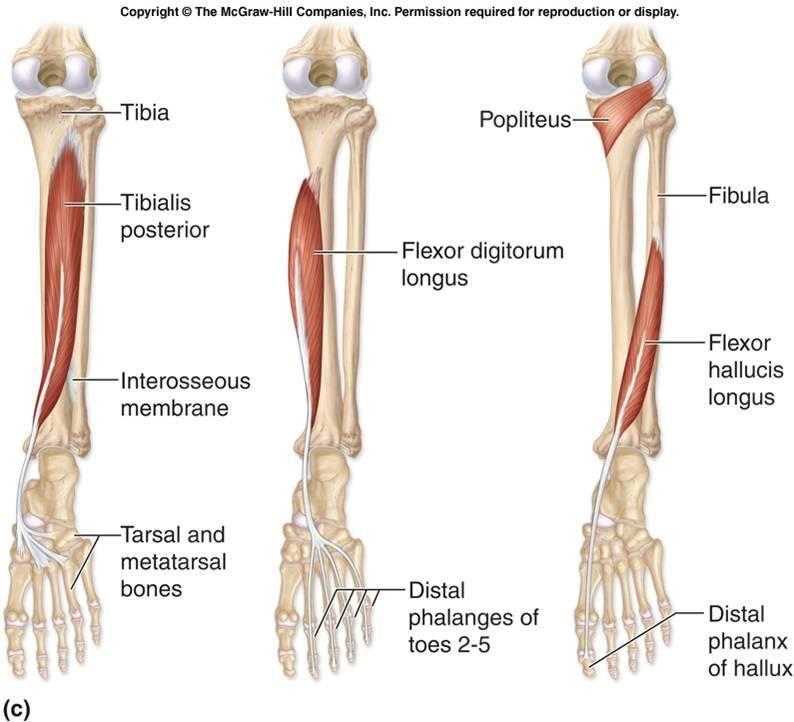 Posterior Tibialis tibialis anterior | anatomy & physiology | Pinterest