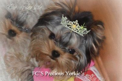 yorkies for sale,baby doll yorkshire terriers,apple head