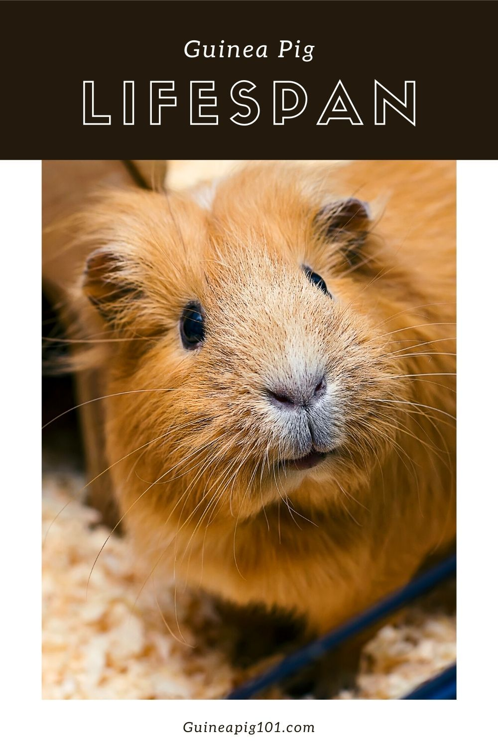 Pin On Guinea Pig 101