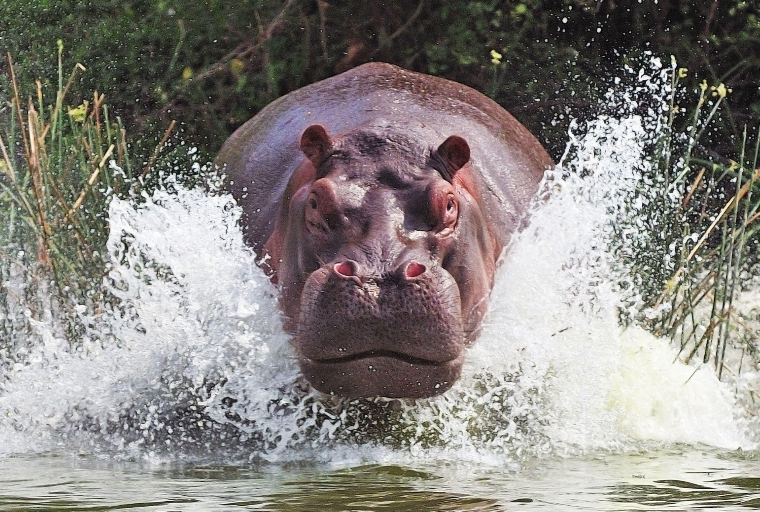 hippopotamus wallpaper | Hippos for Terry | Pinterest | Animales ...