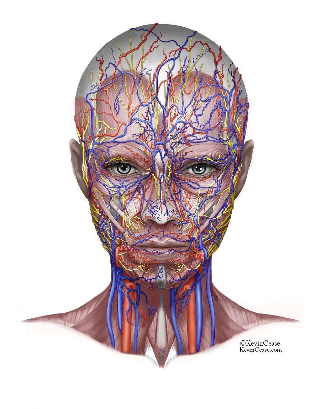 Anatomy Girl (in progress) - Kevin Cease   Anatomía facial ...