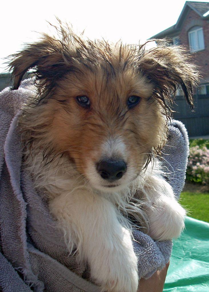 Logan's First Bath 7 Sheltie, Dogs, Shetland sheepdog