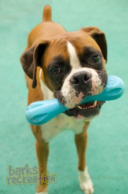 Aries The Boxer Loving Her Westpaw Toy Boxer Puppies Boxer