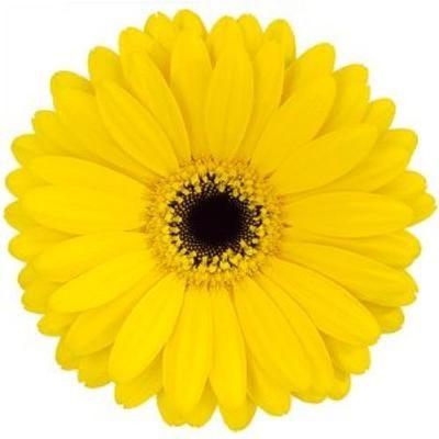 Sunny Yellow Gerb With Black Center Gerbera Daisy Gerbera Flower Gerbera