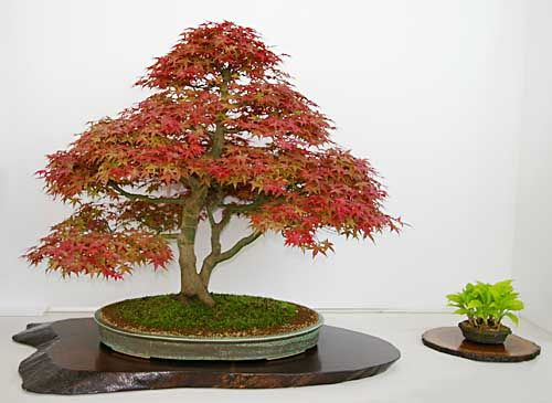acer palmatum f cherahorn bonsai bonsai pinterest baum. Black Bedroom Furniture Sets. Home Design Ideas