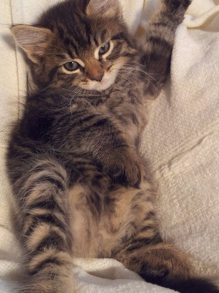 Bengal and Ragdoll mix kittens (With images) Kittens