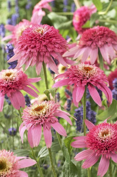 echinacea 39 pink double delight 39 coneflowers pinterest garten. Black Bedroom Furniture Sets. Home Design Ideas