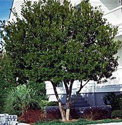 Wax Myrtle Tree Shade Trees Fast Growing Trees Myrtle Tree