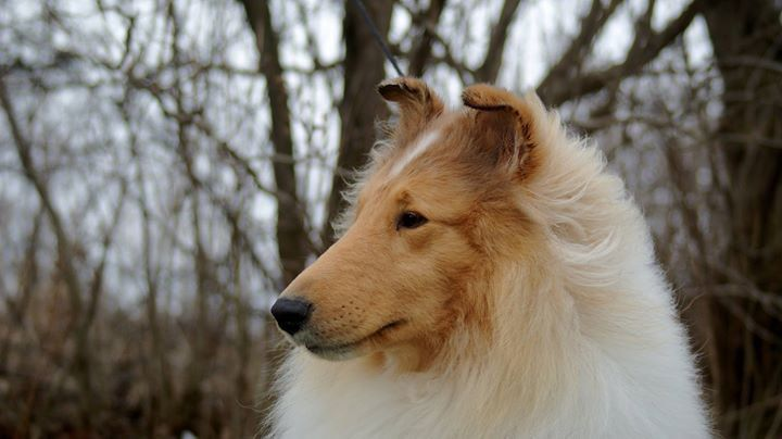 Uch Can Grch Glasgowhill S Wrath Of A God Cgn Pcd Rn Hic The Perfect Dog Rough Collie Collie