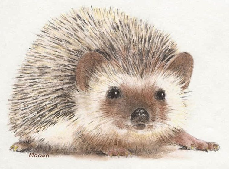 Colour pencil drawing of a hedgehog. Manon Massari. https ...