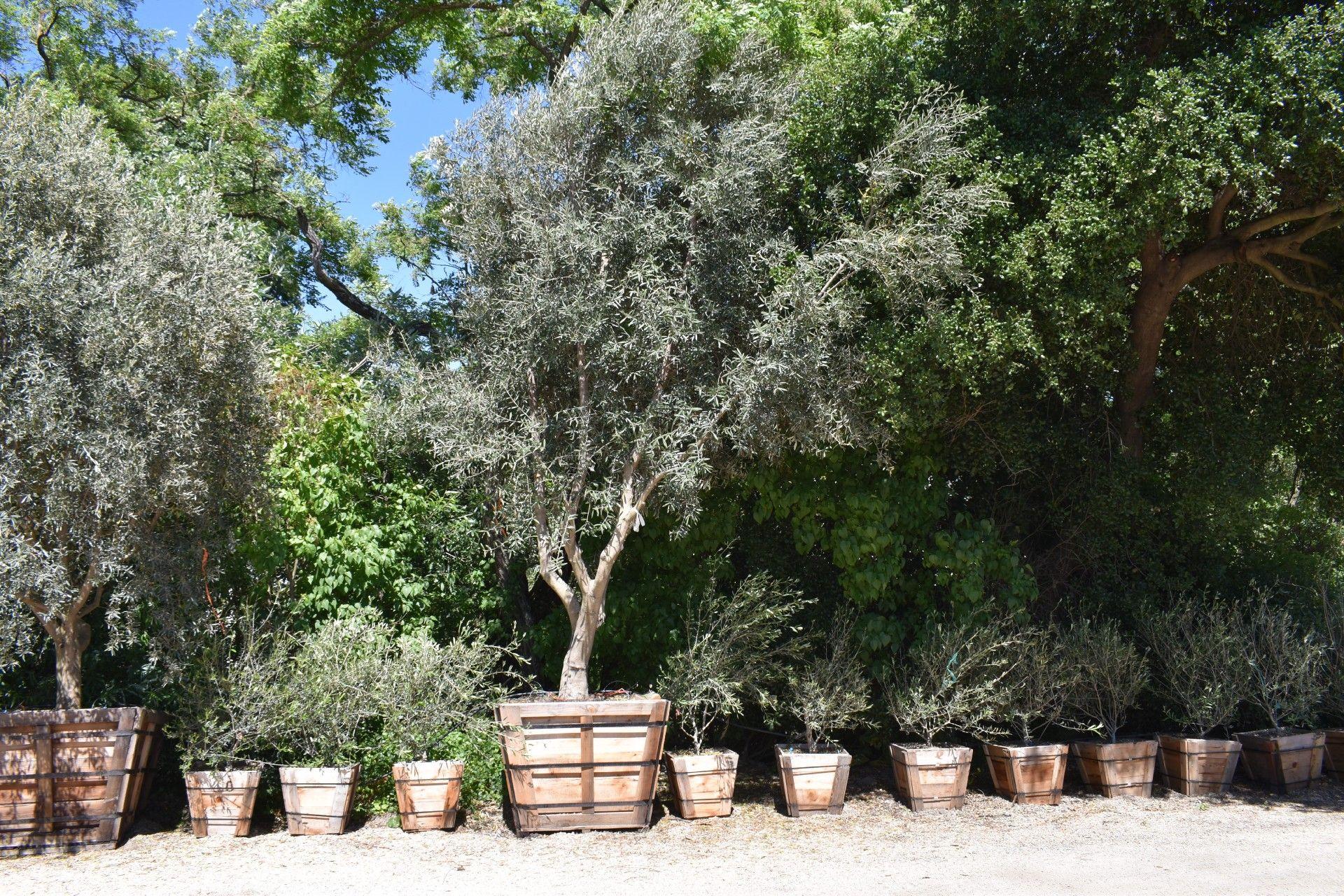 Sonoma Olive Tree Farm Nursery Careful Selection