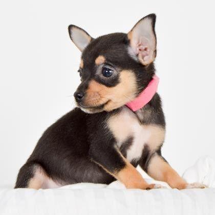 Dogs Adoption Puppies Animal Rescue