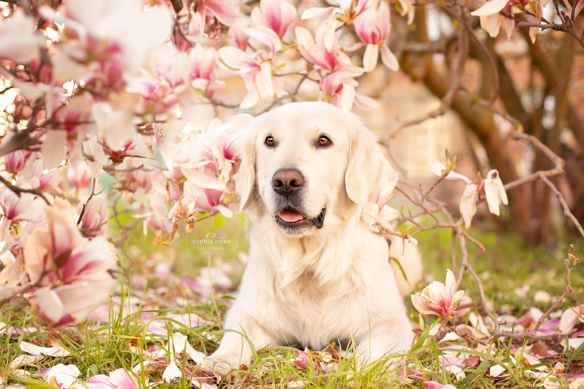 Golden Retriever In Der Rosa Magnolie Sophia Zoike Hundefotografie Hundefotografie Hunde Fotos Golden Retriever