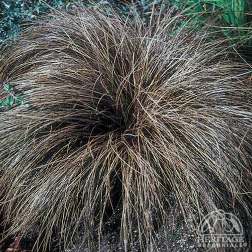 Carex comans bronze form Bronze Hair Sedge | GA Landscape: Grasses ...
