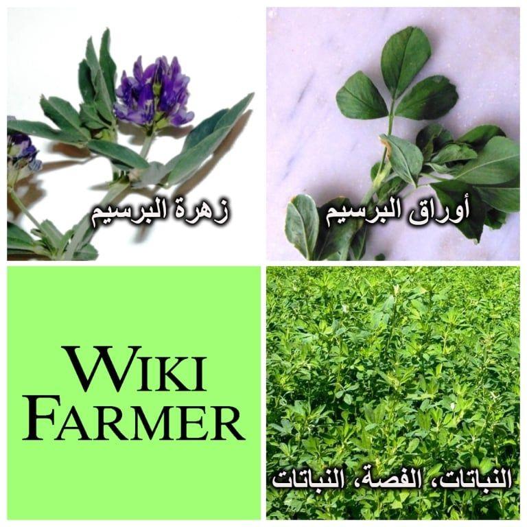 معلومات عن نبات البرسيم Wikifarmer Plants Plant Information Forage Crops