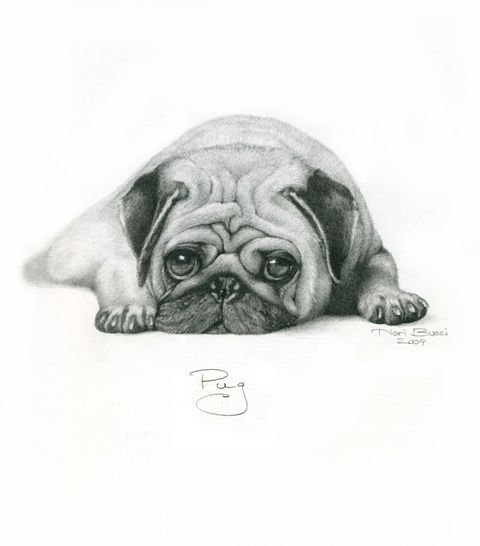 Pug Drawing Dog Sketch Pug Art Pugs
