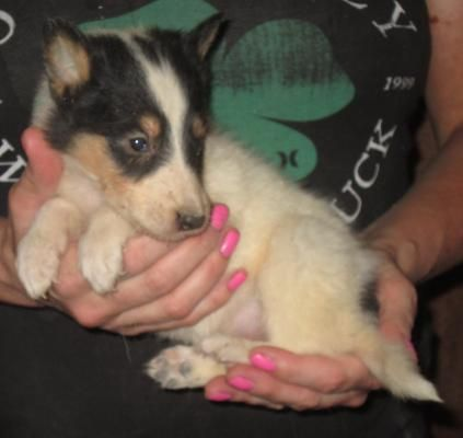 Washington State Collie Puppies Available Collie Puppies Collie