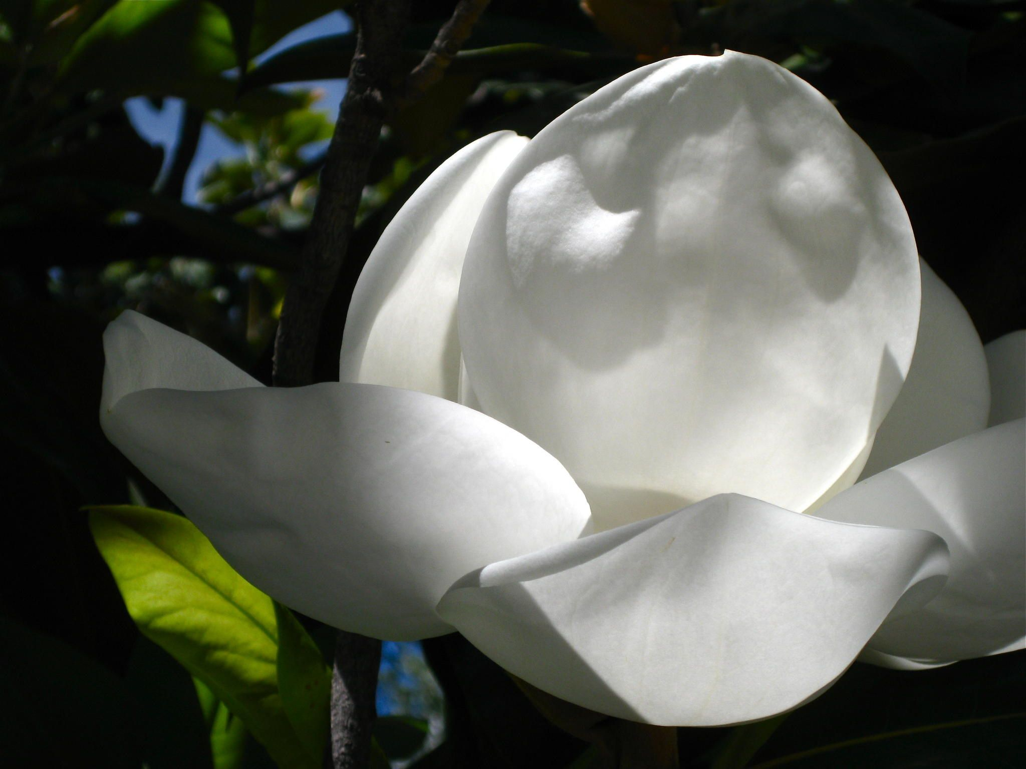 Pin By Kristine On Plants Magnolia Plant Species Magnolia Flower Planting Flowers