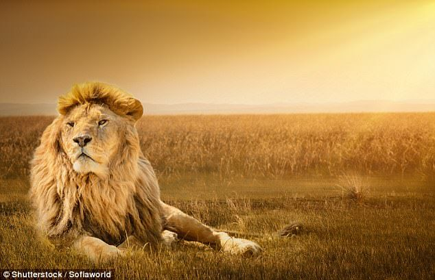 Earth's sixth mass extinction is already underway, meaning thousands of species are at risk of disappearing forever. African lion populations have dropped by 43 per cent drop since 1993