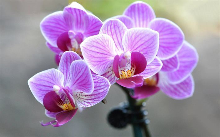 foto de Télécharger fonds d'écran Orchidée, orchidée rose, belle fleur ...