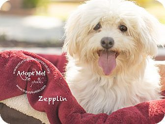 Pin By Aspen Hanley On California Adoptables Pinterest Maltese