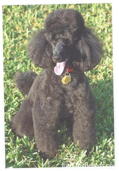 Coco Poodle Miniature Miniature Poodle Miniature Dogs Dog