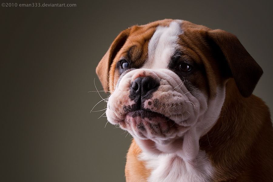 Nate Dog By Eman333 On Deviantart Cute Bulldog Puppies Boo The Dog Dog Photograph