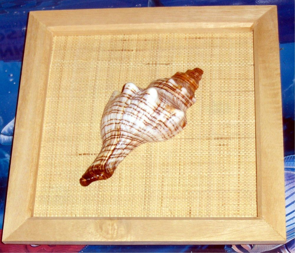 Framed striped fox sea shell wall hanging 8\