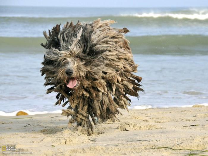 Rasta Dog Dogs Puli Dog Hairy Dog