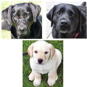 of Labrador retrievers helps students understand