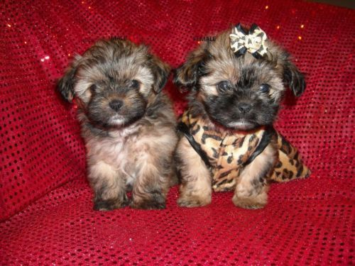Cute Morkies Maltese Yorkie Designer Mix Nonshed 1 Tiny Boy Left Cute Animals Yorkie Puppies