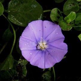 Convolvulus sabatius (mauritanicus) - Plantes et Jardins