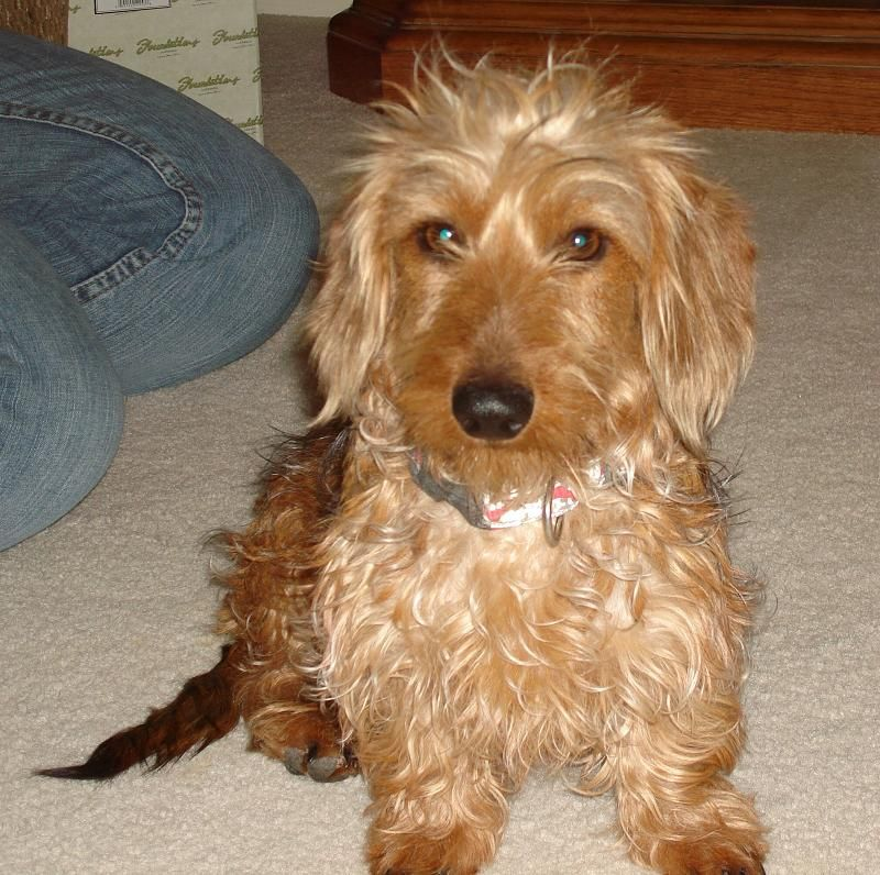 Wheaten Dachshund Google Search Wire Haired Dachshund Weiner