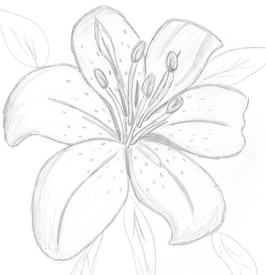 Uncategorized Drawing Of Lily lilies drawing google search flowers pinterest tigers search