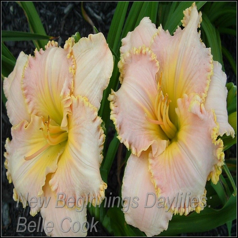 'Belle Cook' Daylily - pink self above green throat
