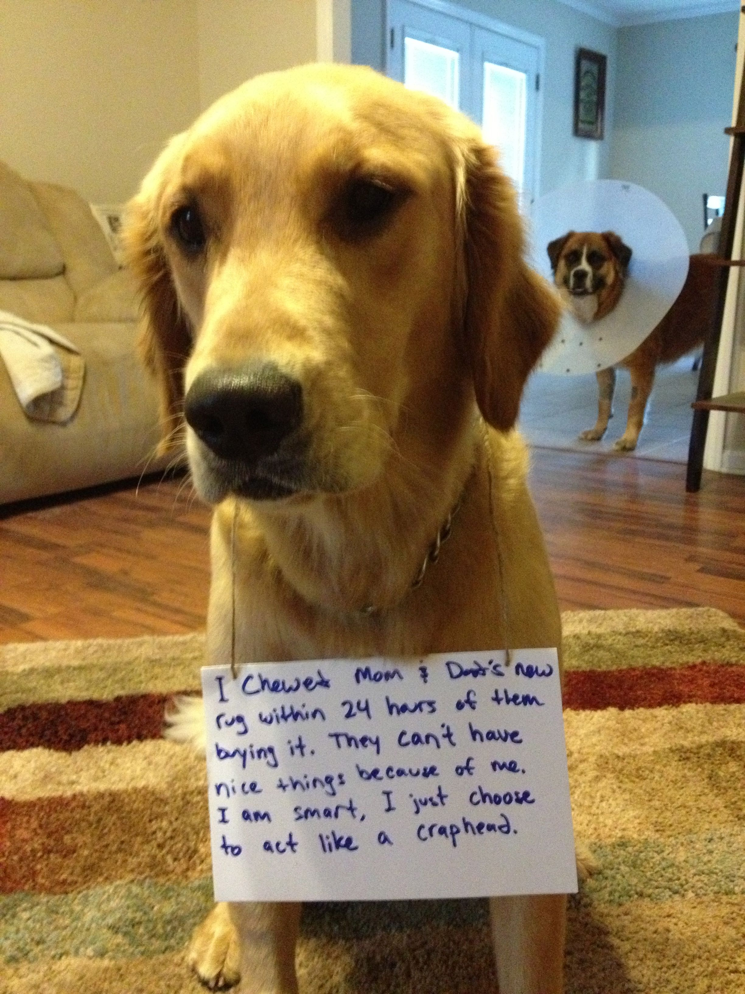 Rug Chewer Dog Shaming Funny Dog Shaming Dumb Dogs
