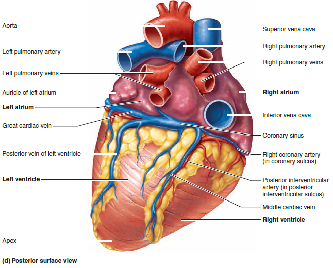 Posterior Surface Of The Heart Diagram Blank Diy Enthusiasts