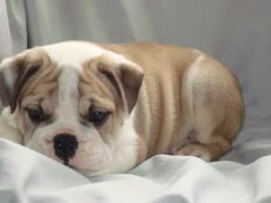 English Bulldog Puppy With Images English Bulldog Pictures