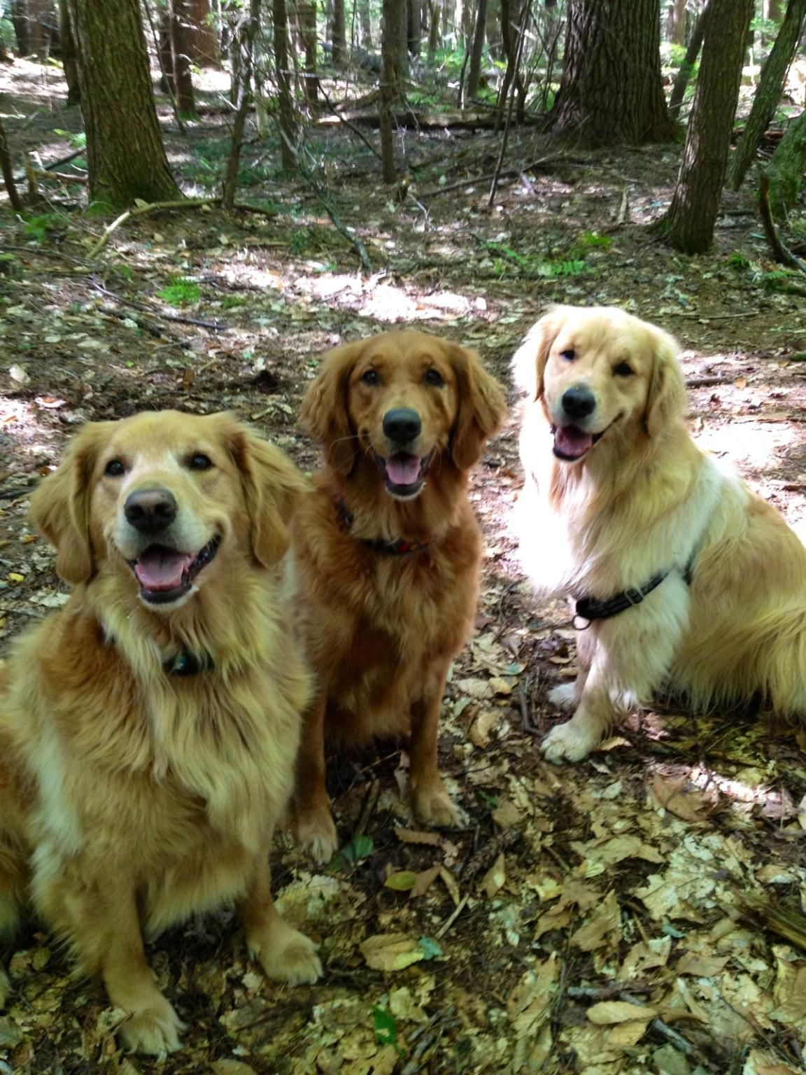 Golden party! Most beautiful dog breeds, Cute dogs, Dog love