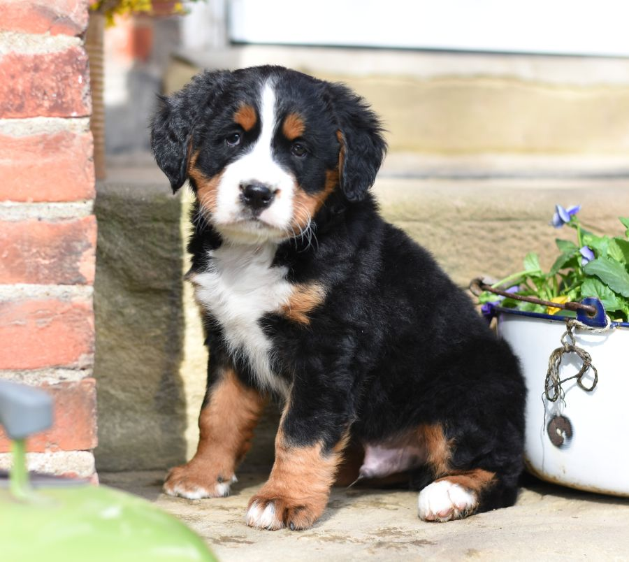 Puppies For Sale Lancaster Puppies Bernese Mountain Dog Puppy Dog Friends