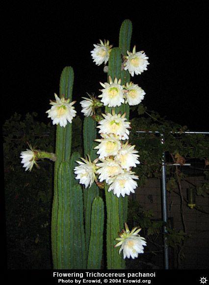 Erowid Plants Vaults Images Trichocereus Pachanoi Flower Plants San Pedro Cacti Flowers
