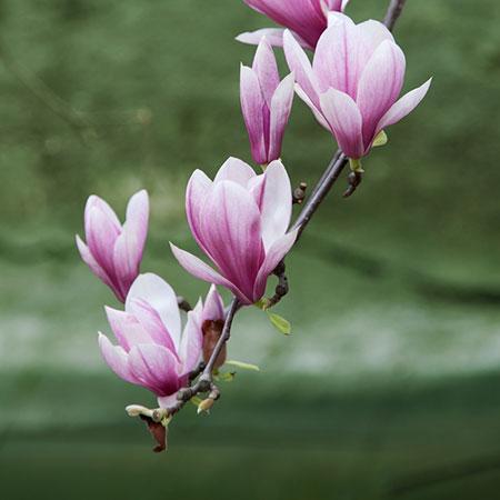 Ann Magnolia Magnolia Flower Magnolia Tulip Magnolia