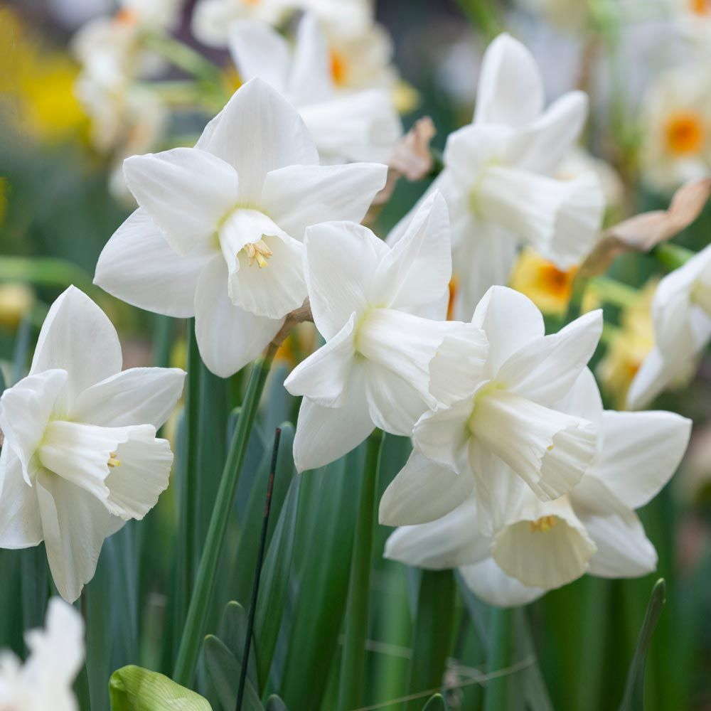 Narcissus Snowboard In 2020 White Flower Farm Spring Flowering Bulbs Fall Plants