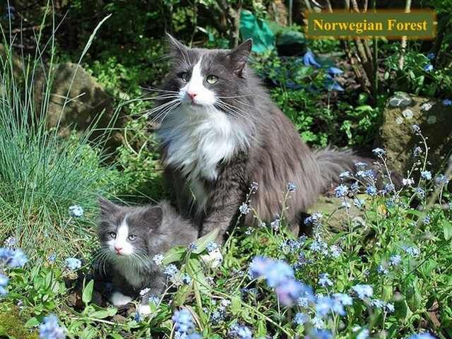 Your Ultimate Guide To All Breeds Of Cat Cat Breeds Norwegian Forest Cat Norwegian Cat
