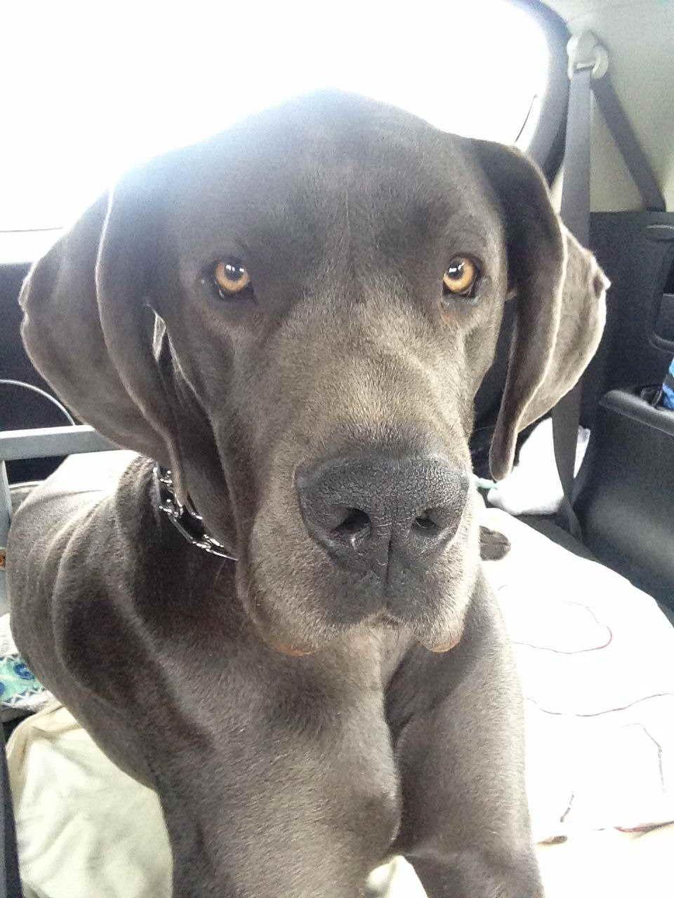 1 Year Old Great Dane For Sale Dengan Gambar