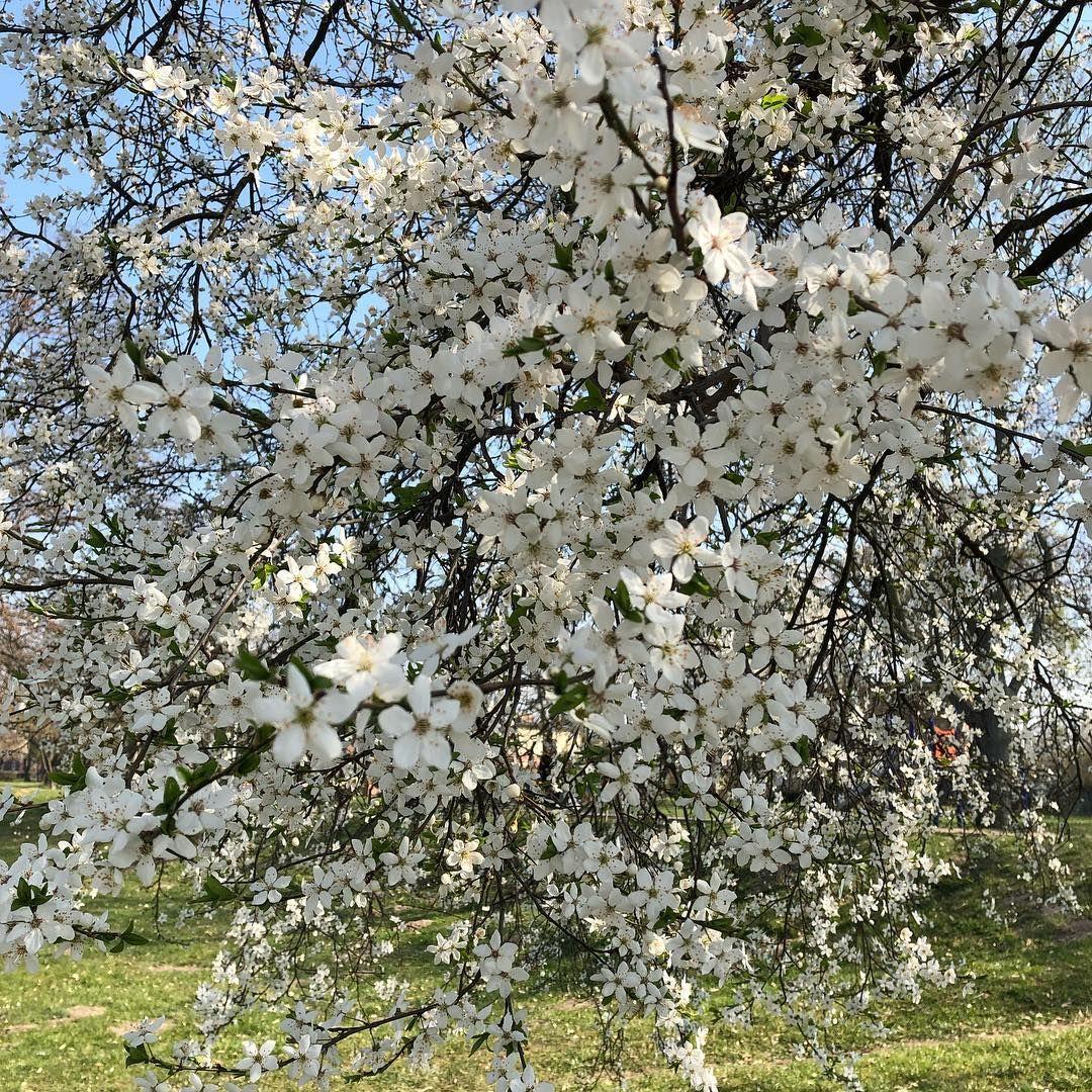 Wiosna Wiosna Biale Kwiaty Drzewa Spring White Beautiful Flowers Tree Bloom Fruhling Weiss Blumen Baum Flowerof Flowering Trees Beautiful Flowers Flowers