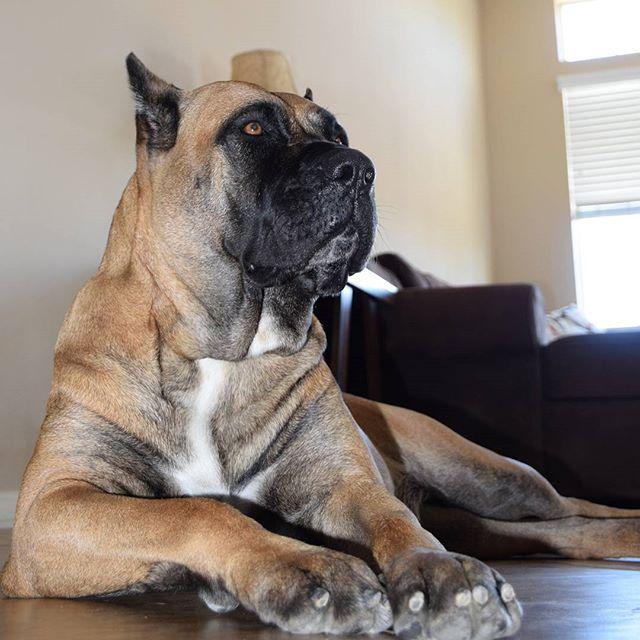 Presa Canario Guardian Presacanario Presacanarios Perrodepresacanario Socalpresa Dogocanario Mastiff Canecorso Canecorso Mastiff Puppies Canine Dog Id