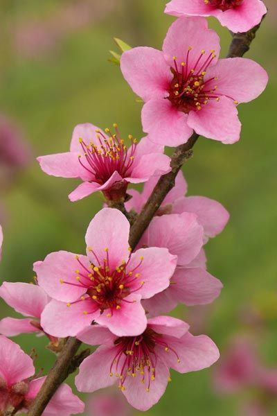 Delaware: Peach Blossom | A deciduous tree with glossy leaves that follow showy spring flowers, it grows to a modest 25 feet tall, making it a good candidate for a backyard orchard in warmer zones.